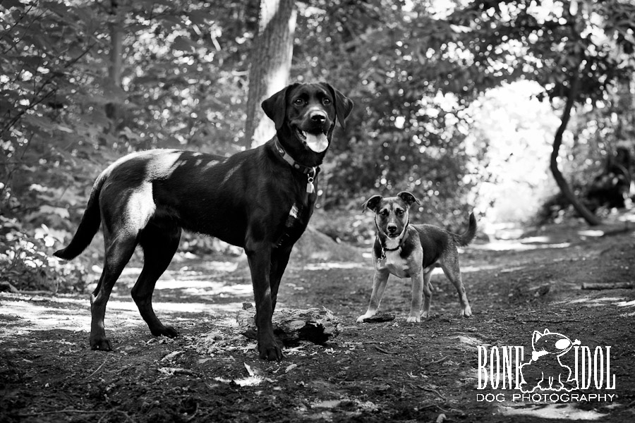 Black labrador and Jack Russell dog portrait