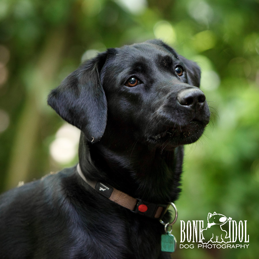 Black Labrador Professional Photograph