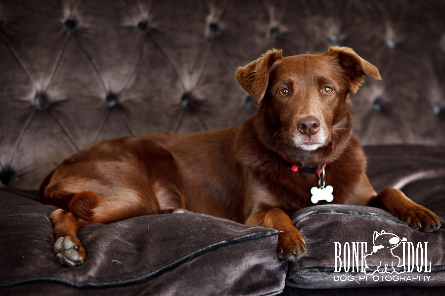 Chocolate labrador collie cross dog portrait