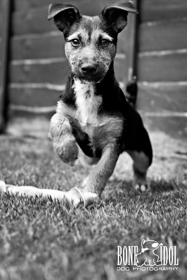 Bone Idol Dog Photography