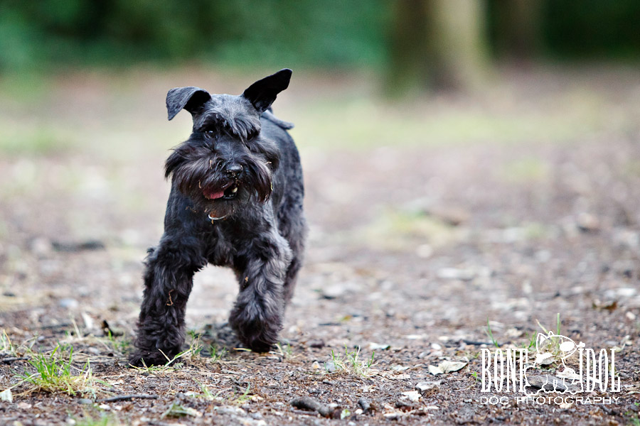 Miniature Schnauzer Photographs in Streatham