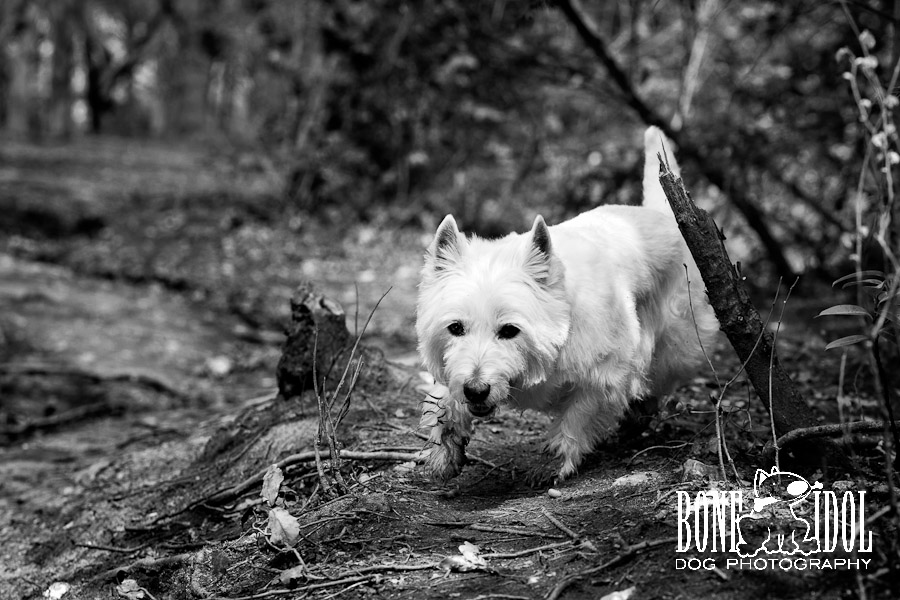Photo of West Highland White Terrier with dirty paws