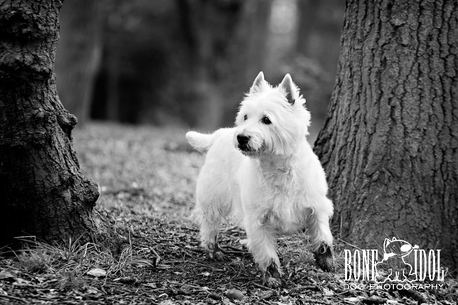 Photo of Westie  with dirty paws